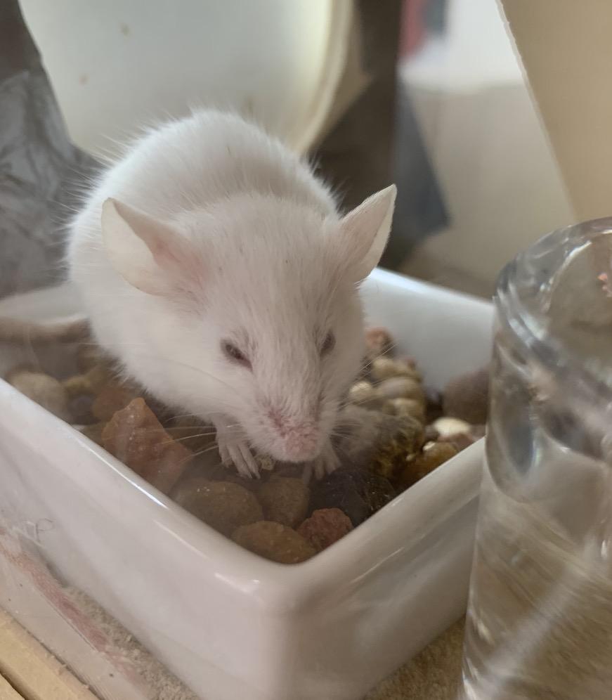 Mucksmäuschen kam ursprünglich als Geschenk des Lebendfutter-Verkäufers zu uns ins Haus und wurde dann zum Haustier.