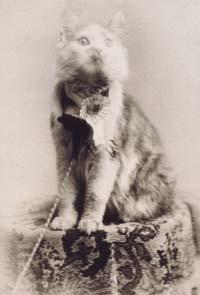 Кошка по кличке Cosey- победительница выставки кошек в Медисон-Сквер-Гарденс в Нью- Йорке  в 1895году