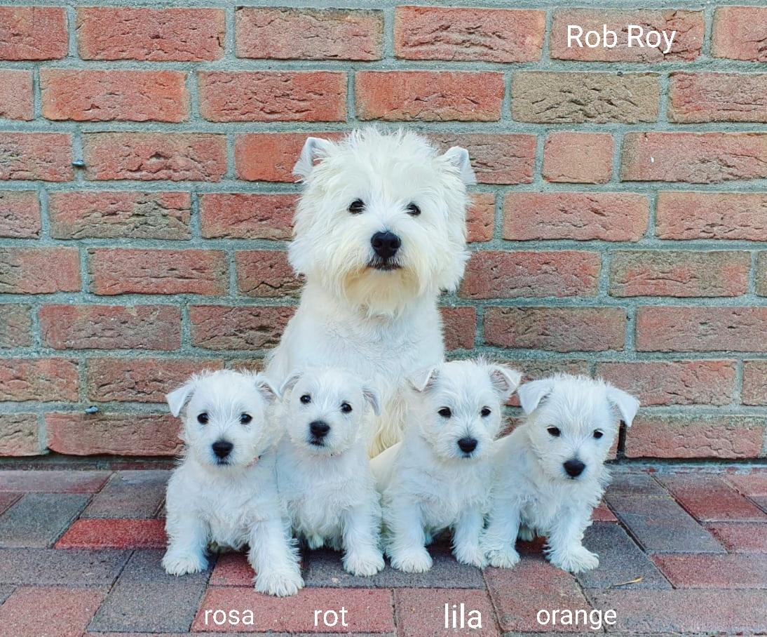 Q-Wurf 7 Wochen alt mit Rob Roy