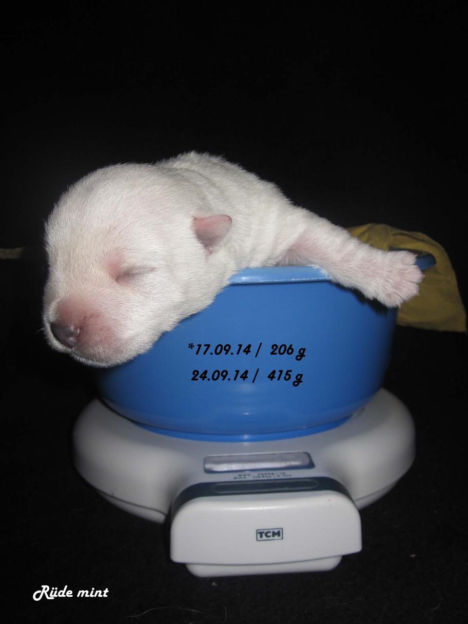 Rüde mint 7 Tage alt