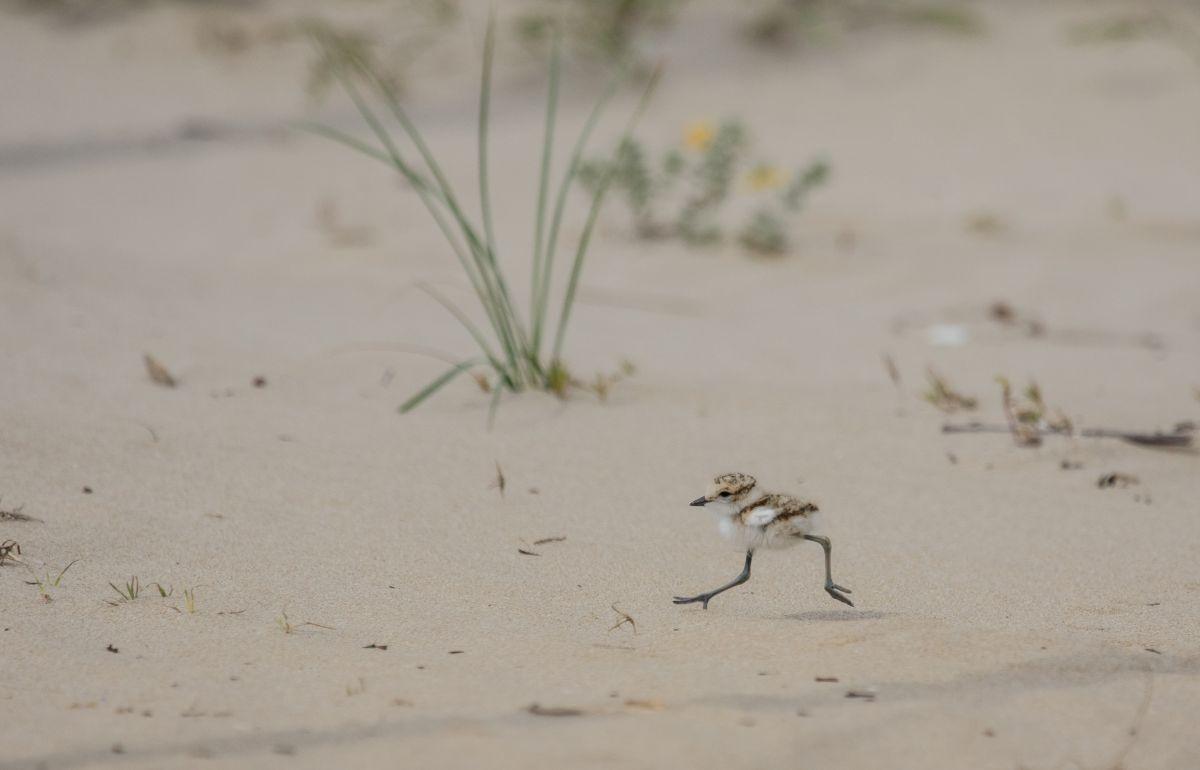Il piccolo di fratino: nelle prime settimane di vita è privo di ali e si sposta correndo velocissimo lungo la spiaggia