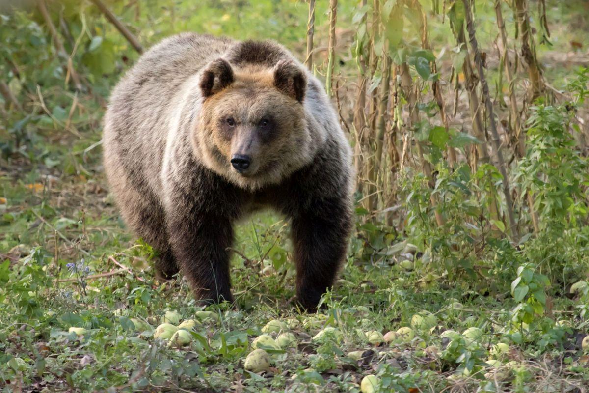 Giovane orsa sorpresa a mangiare pere in un piccolo centro abitato del Parco Nazionale d'Abruzzo