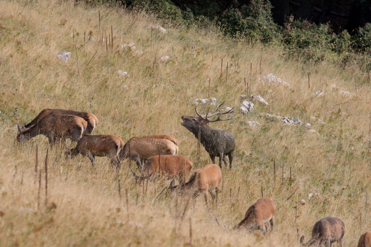 """Cervo (Cervus elaphus), durante la stagione degli amori: questo è il dominante della zona che """"marca"""" stretto il suo harem"""
