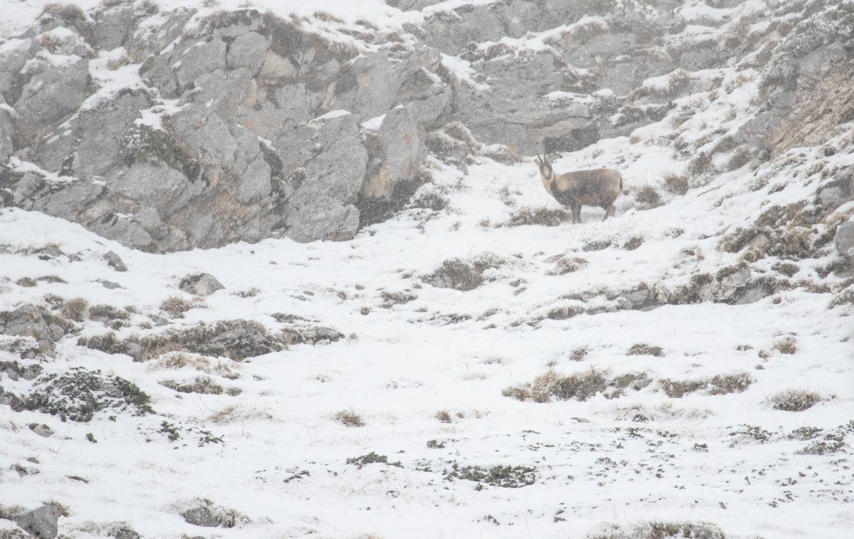 Camoscio con mantello invernale: proprio per la bellezza del suo mantello e per l'imponente trofeo viene definito il camoscio più bello del mondo!
