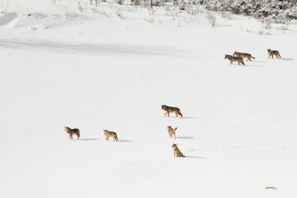 Da sempre presente in Abruzzo, il lupo partendo proprio dalla nostra terra ha ricolonizzato tutta la dorsale appenninica fino ad arrivare nel 1990 nel nord Italia