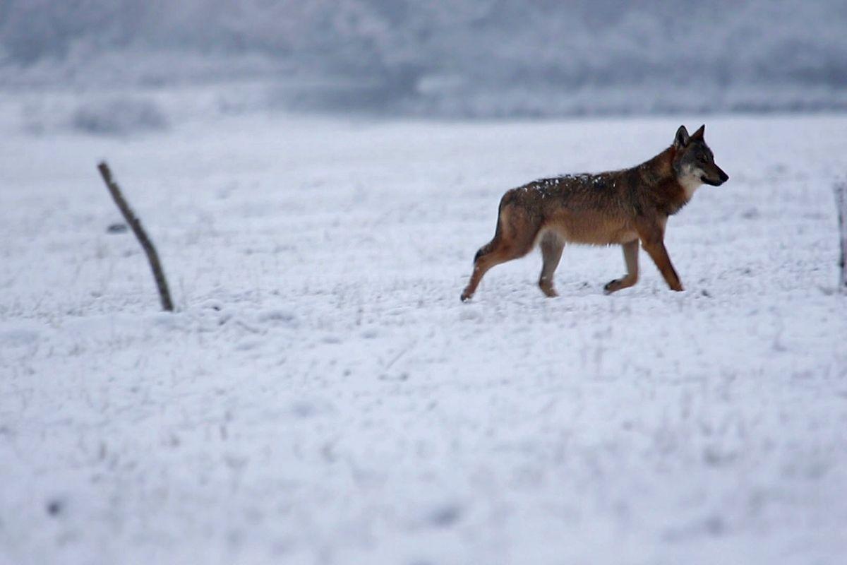 Un lupo adulto in ricognizione sotto una bella nevicata