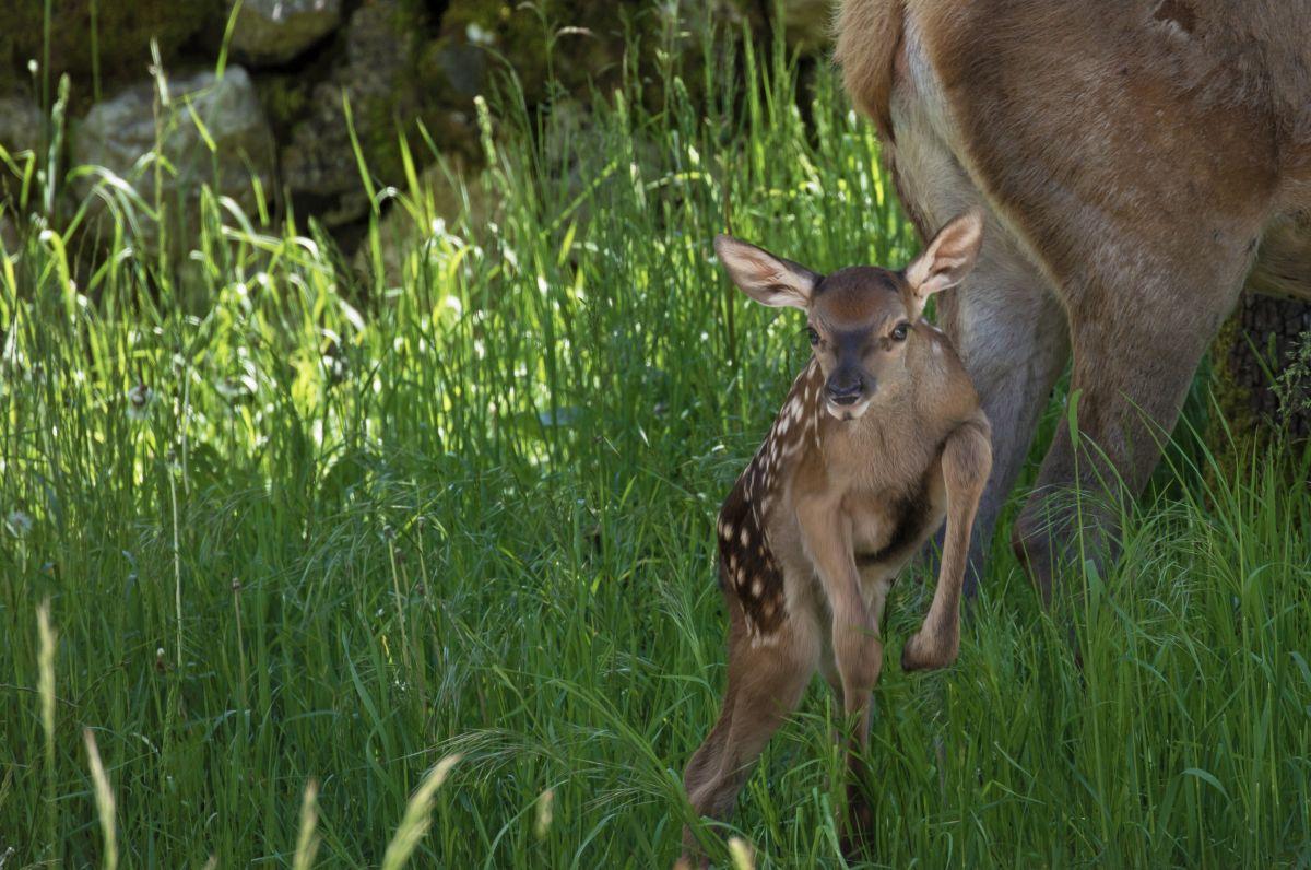 Un bamby (piccolo di cervo) nato do poche ore, che salta felice sotto la sguardo della sua mamma