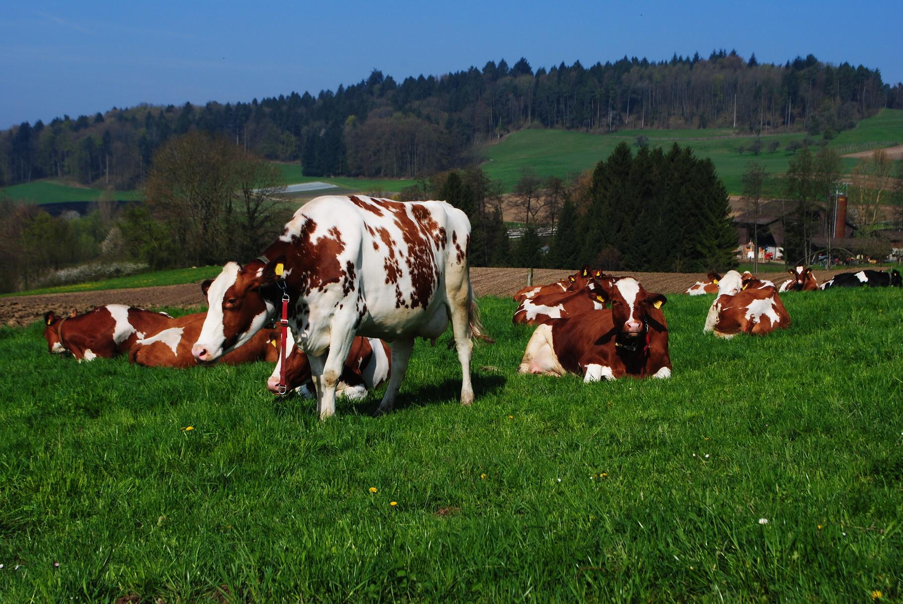 Die Kühe geniessen das frische Gras auf der Weide.