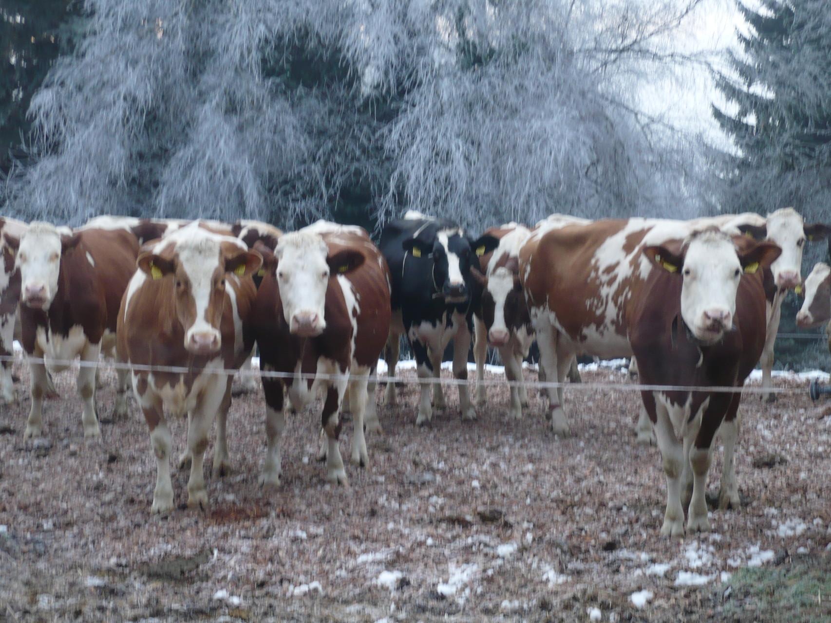 Auch im Winter geniessen die Kühe regelmässigen Auslauf.