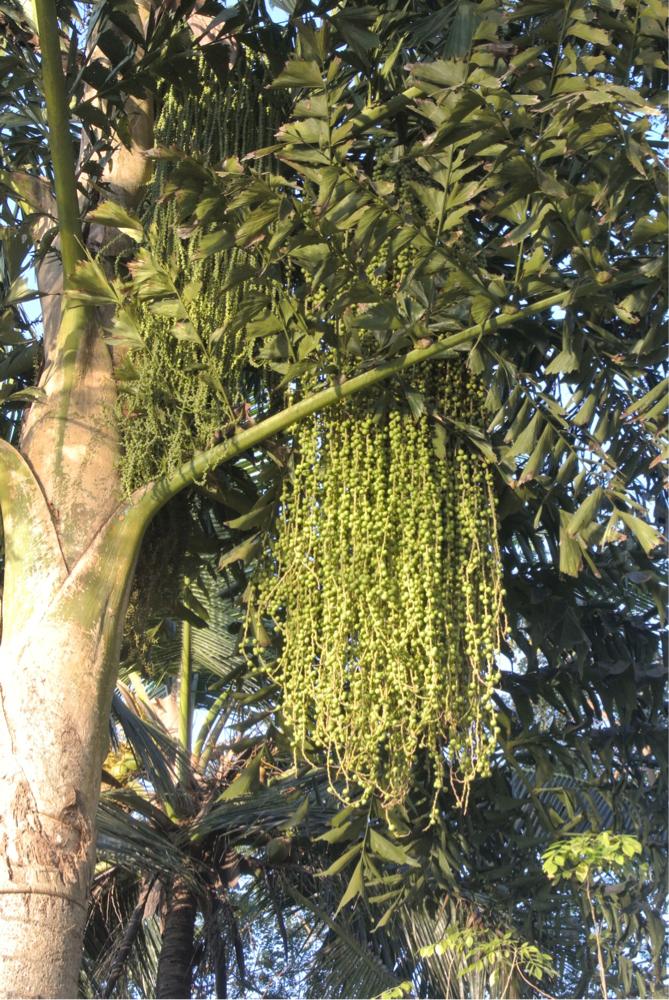 これはヤドリギのように木に生えているでしょうか?迫力です。