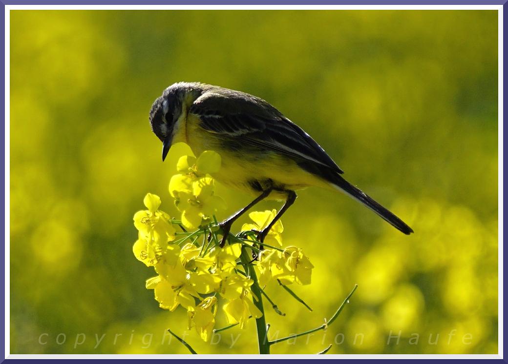 Vögel auf Rügen - Teil II
