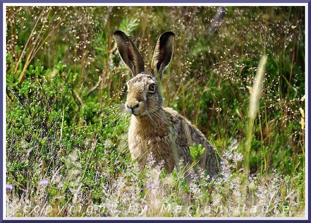 Frohe Ostern für DAS Ostersymbol, den Feldhasen?