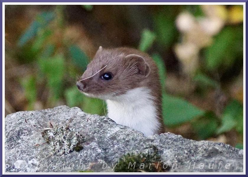 Über ein Mauswiesel und andere Mauerbewohner