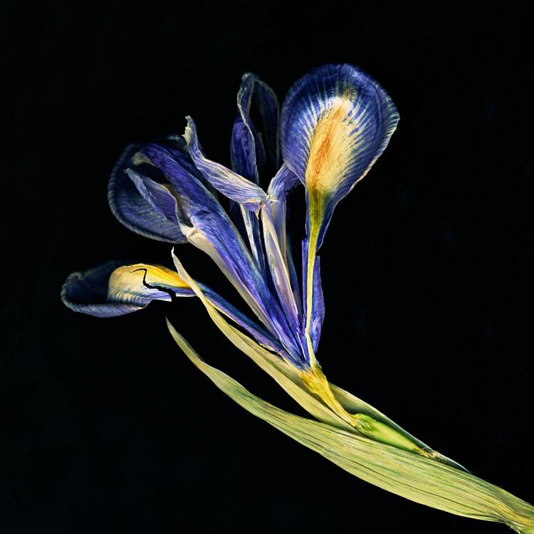 Iris, Faded iris flower on black