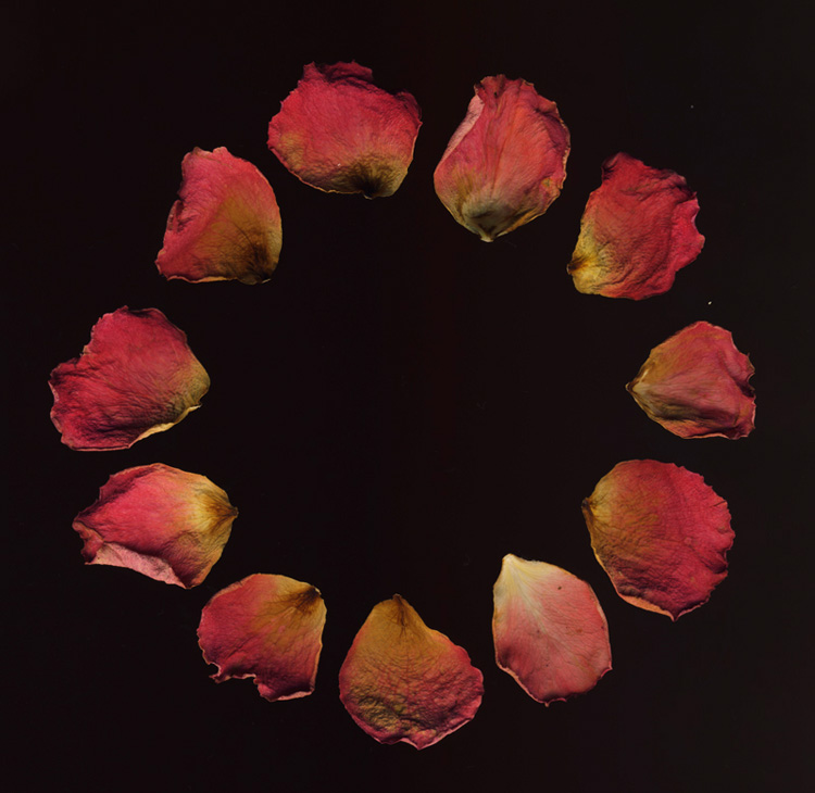 Rose Ring A digital compilation of dry rose petals