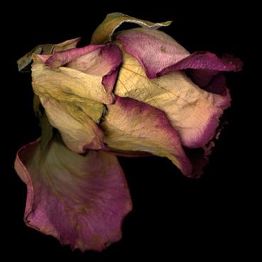 Rosebud, single fade pink rosebud