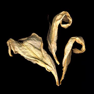 Lily Petals, faded lily petals, cream on black