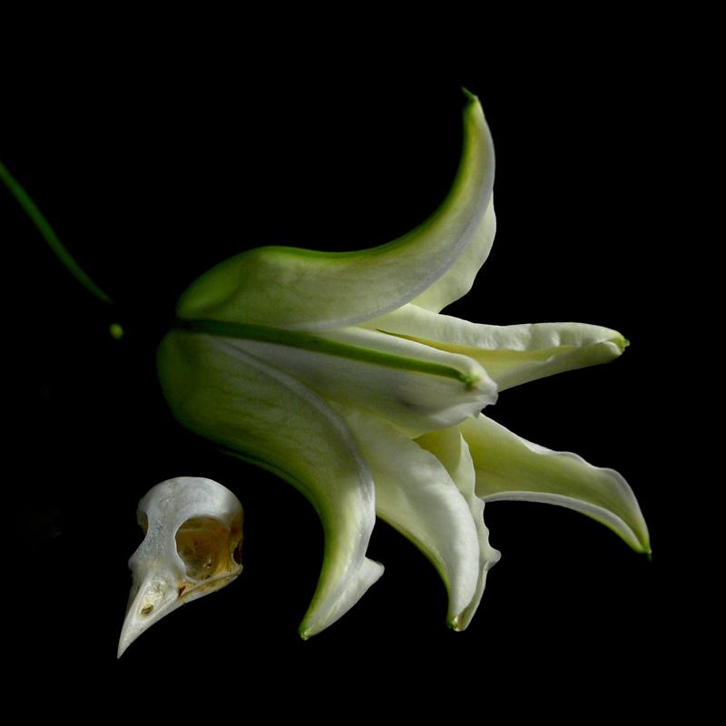 Vanitas, White Lily and Bird Skull, colour still life