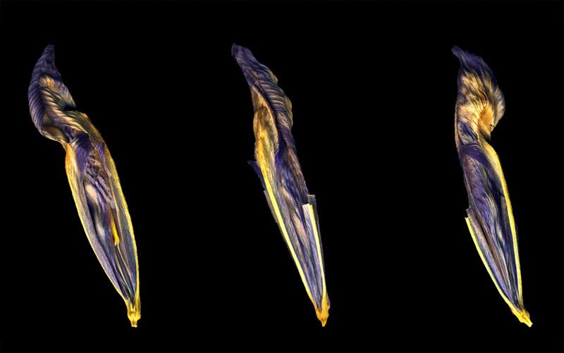 Iris Trio, Three faded iris petals on black