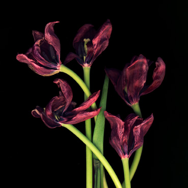 TulipsFive, 5 faded red tulips
