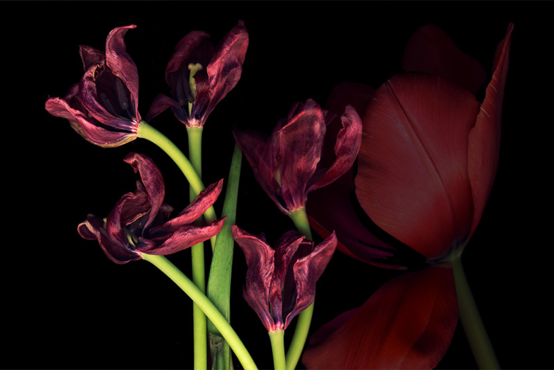 Too Old, digital montage of two scans of red tulips on black