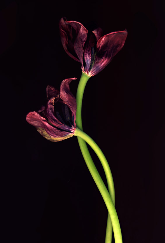 Tulip Twist, two faded red tulips on black