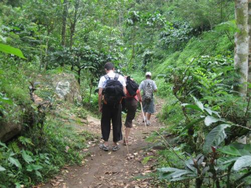 Promenade au millieu de plantations de caféier