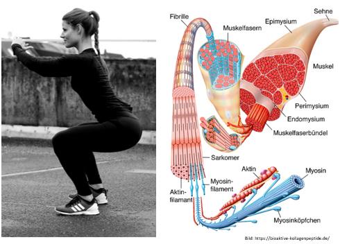 Muskelkater Muskelaufbau Muskelfaser Training Regeneration Sport Fitness Muskel