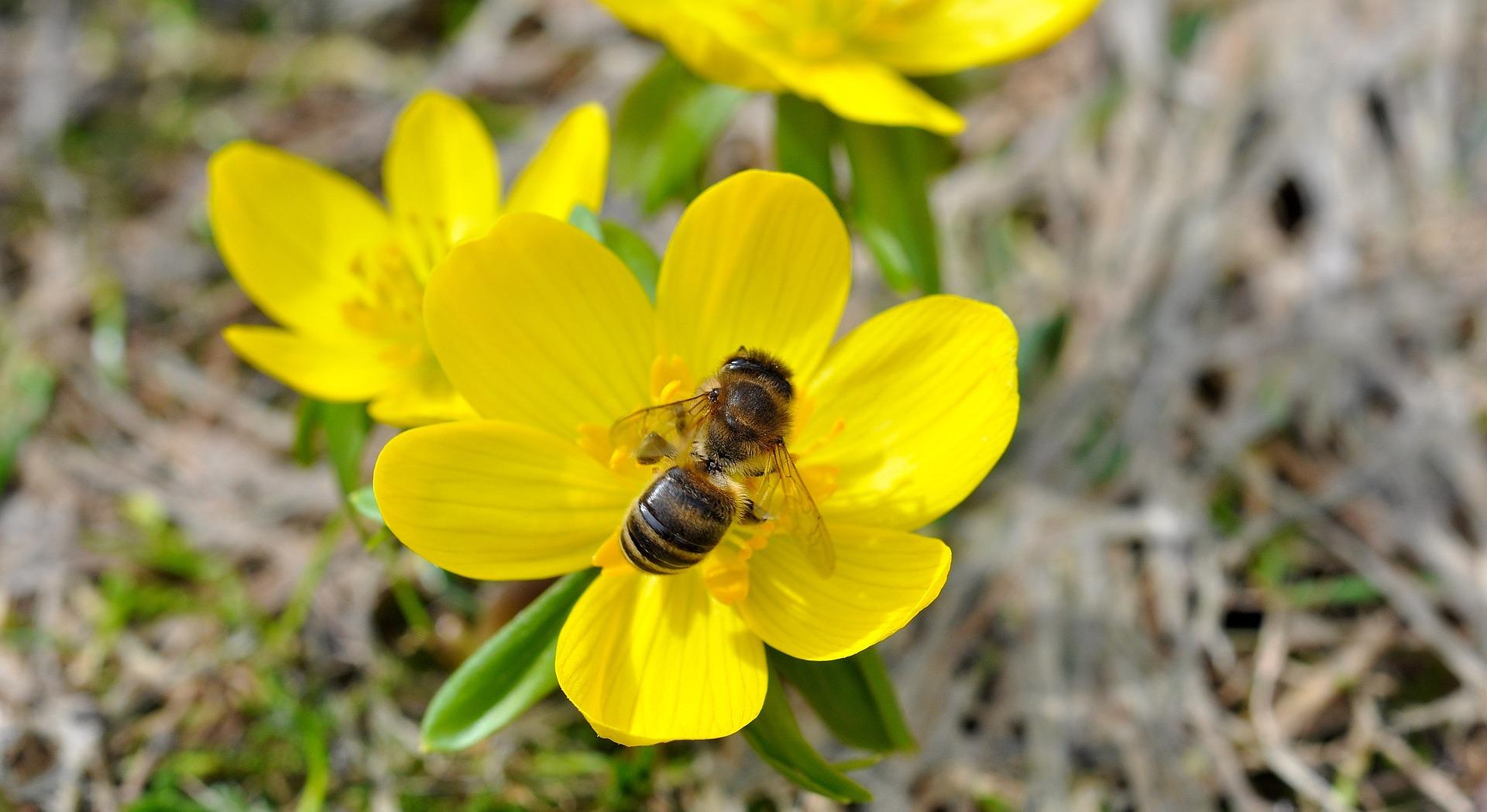 Pflanze des Monats: Winterling - Hoffnungsträger für Insekten