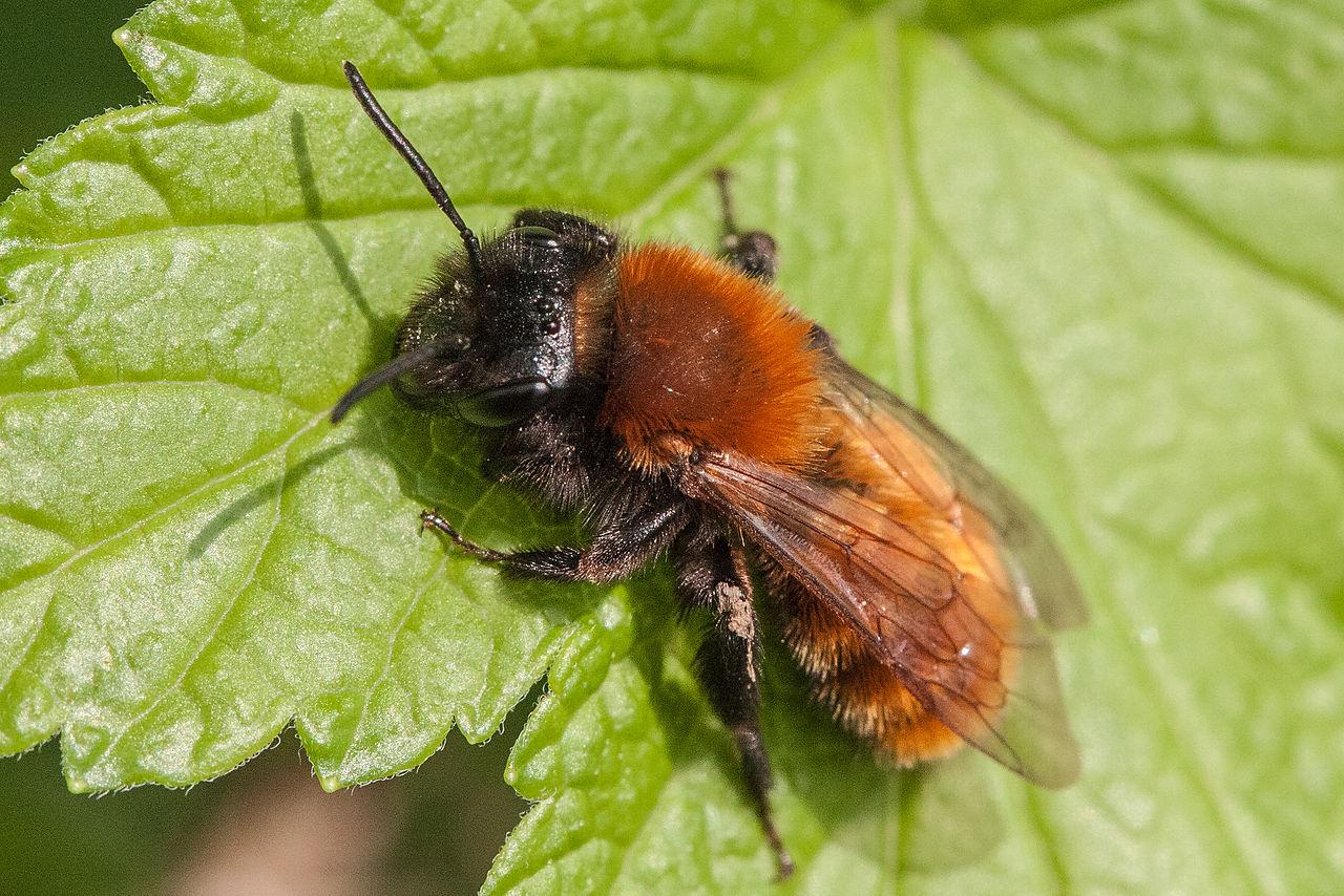 Biene des Monats: Rotpelzige Sandbiene - die Füchsin unter den Wildbienen
