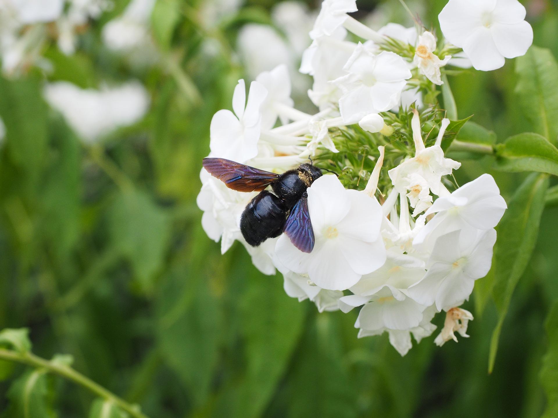 Die Blauschwarze Holzbiene - ein auffälliger Bestäuber