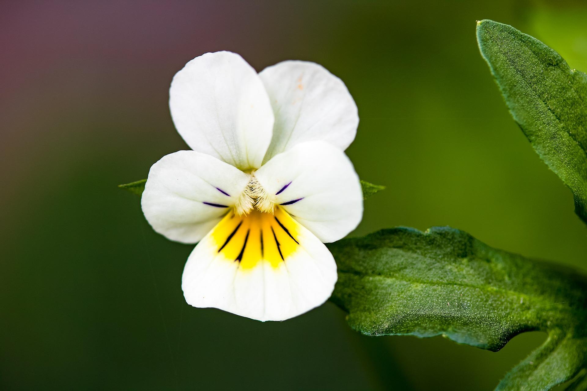Pflanze des Monats: Acker-Veilchen - treuer Bienenbegleiter