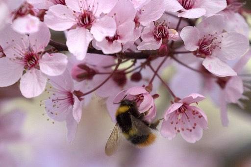 Biene des Monats: Wiesenhummel - klein, aber oho!