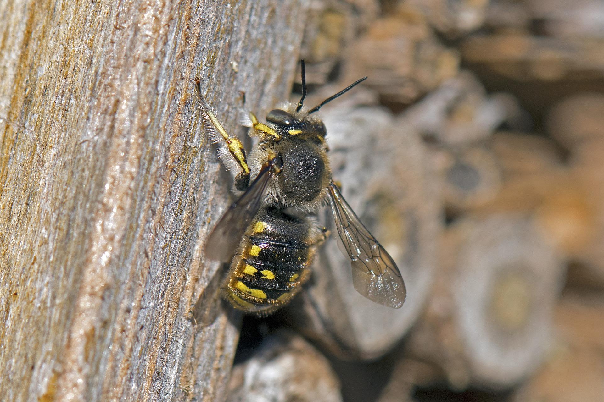 Biene des Monats: Die Garten-Wollbiene – nistet gern wollig warm