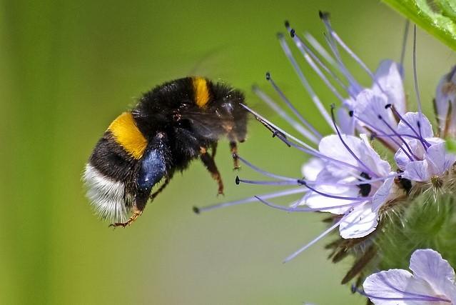 Biene des Monats: Erdhummel - eifrige Erntehelferin