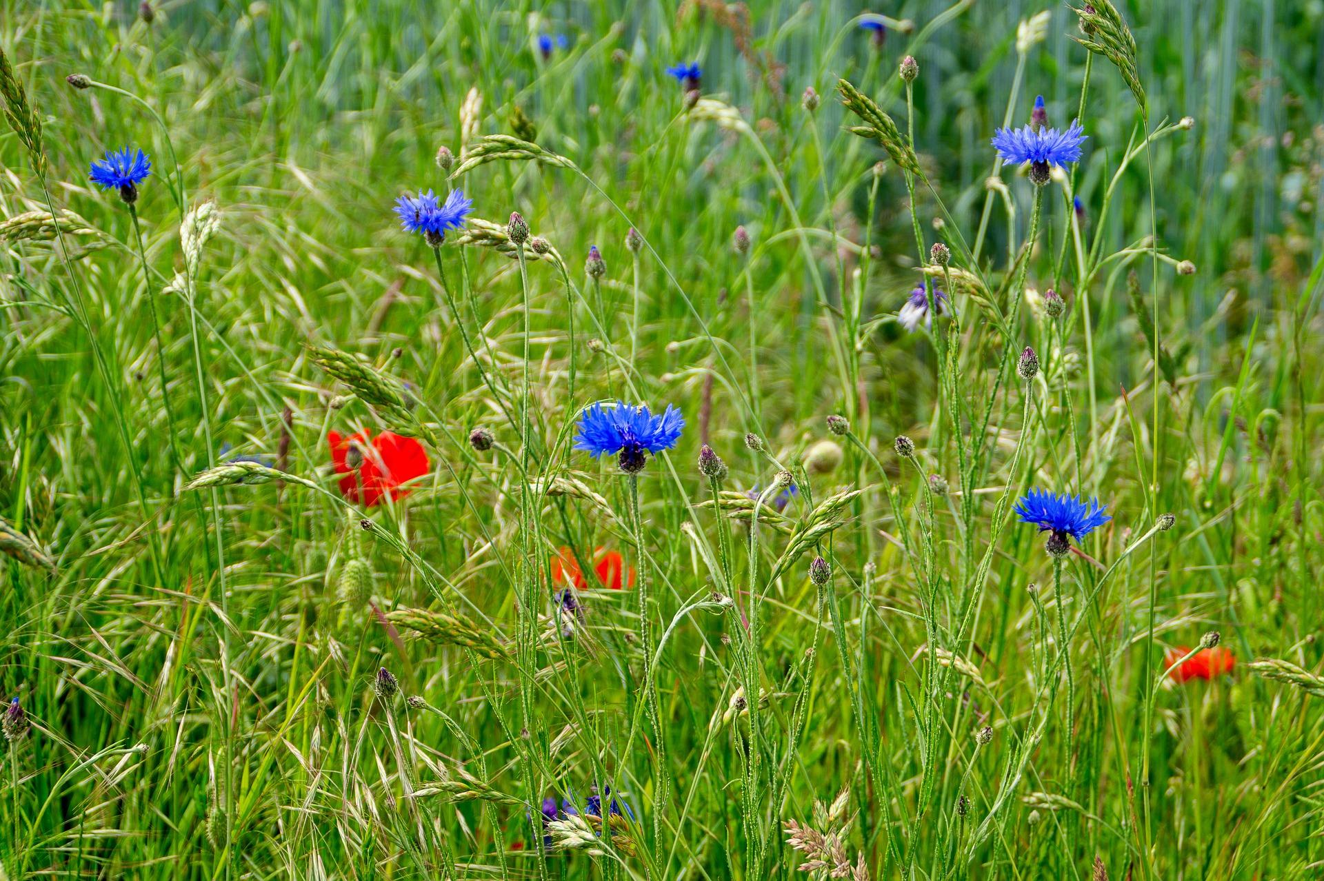 Die bunt betupften Felder sind verschwunden, erleben aber jetzt ihr Revival im Hausgarten