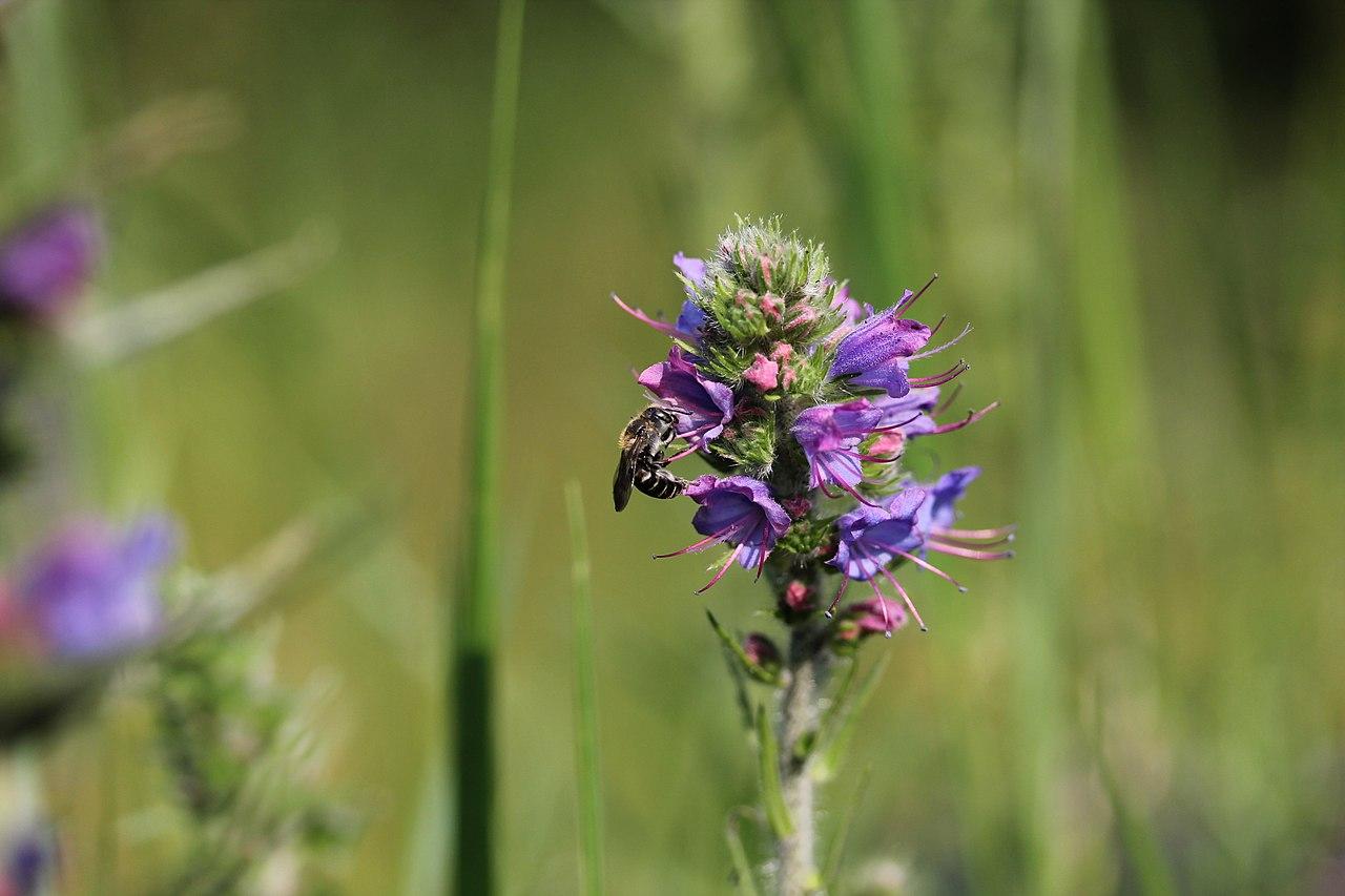 Biene des Monats: Natternkopf-Mauerbiene - die Pollenspezialistin