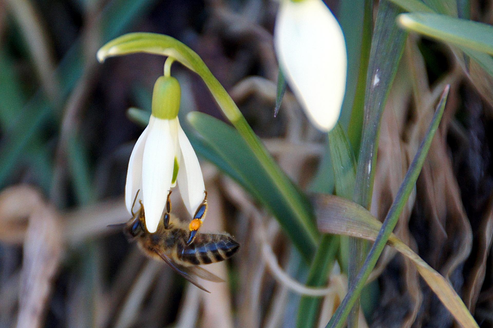 Pflanze des Monats: Das schimmernde Schneeglöckchen