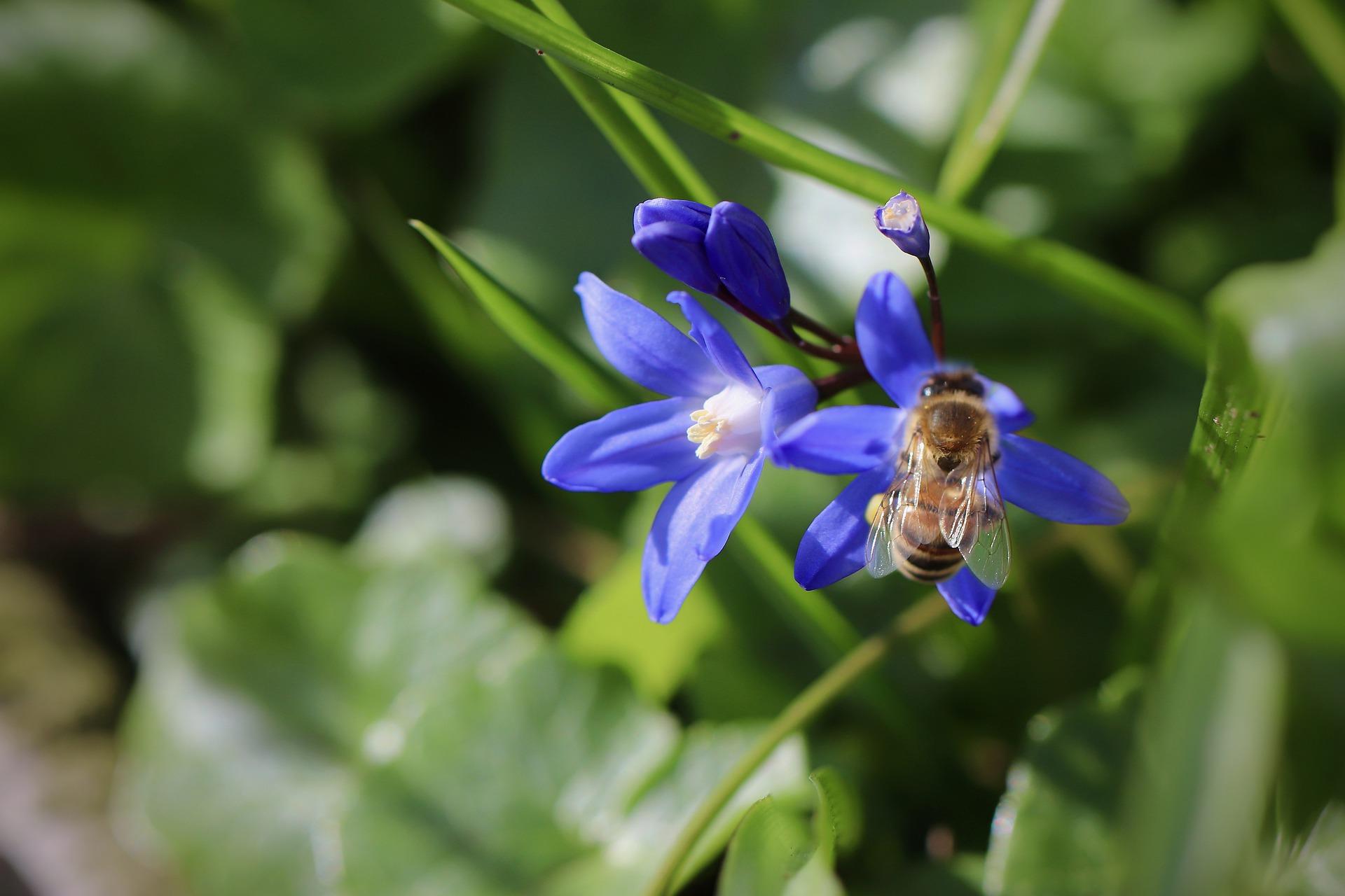 Pflanze des Monats: Blausternchen - funkelnder Frühlingsbote