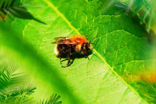 Biene des Monats: Baumhummel