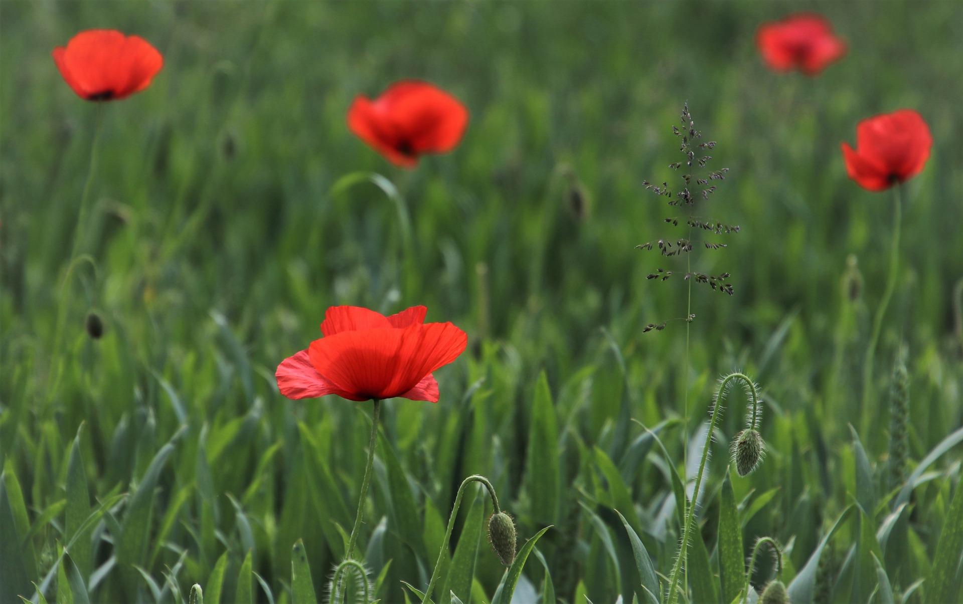 Pflanze des Monats: Klatschmohn - der rote Bienenmagnet