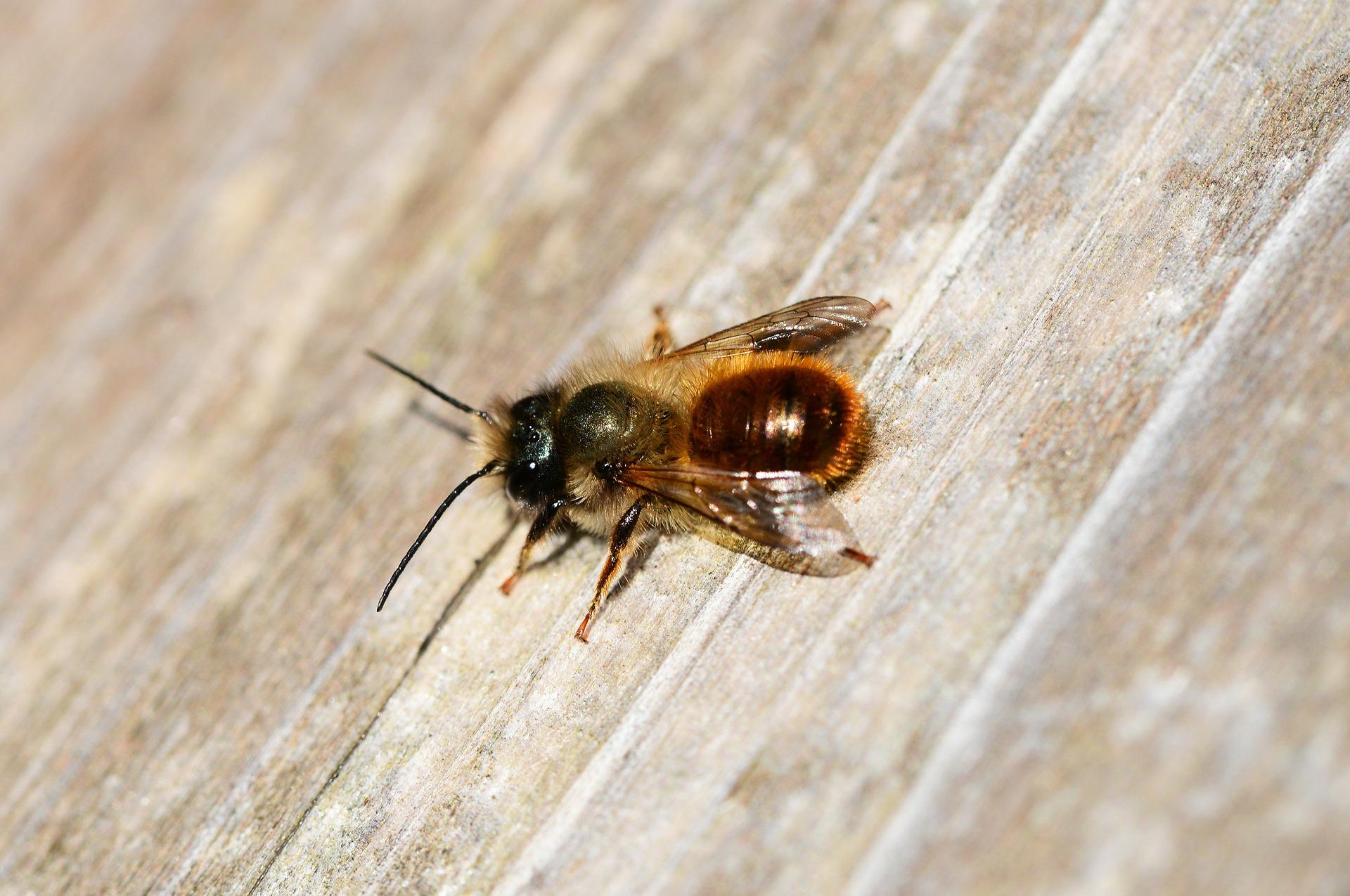 Biene des Monats: Rostrote Mauerbiene – auffällig anspruchslos