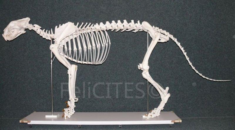 Aufgestellte Gesamtanatomie eines Panthera tigris altaica, male ad.