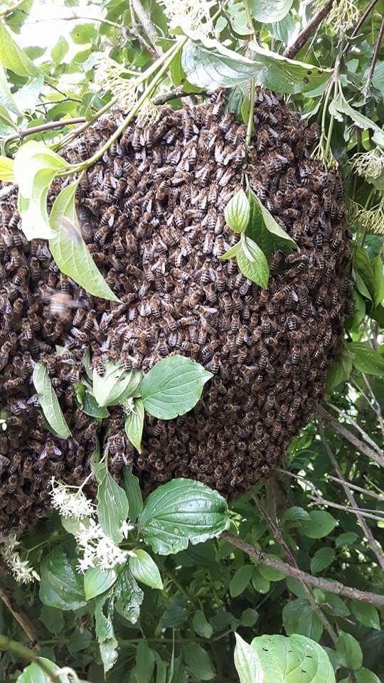 Schwarmzeit - Die Bienen schwärmen wieder.  Ich möchte Euch, wie jedes Jahr, darum bitten mich sofort anzurufen wenn ihr einen Bienenschwarm seht.                     Ich helfe Euch gerne und stehe Euch mit Rat & Tat zur Seite - meine Telnr. 0676/5462523!
