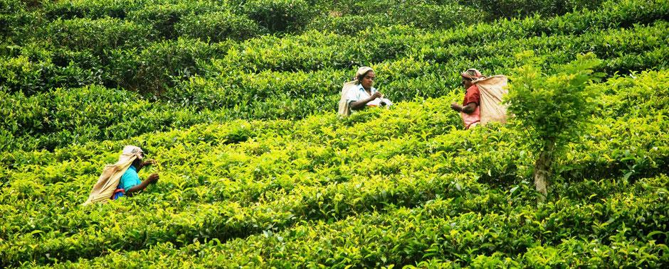 Theeplantage bij Nuwara Eliya