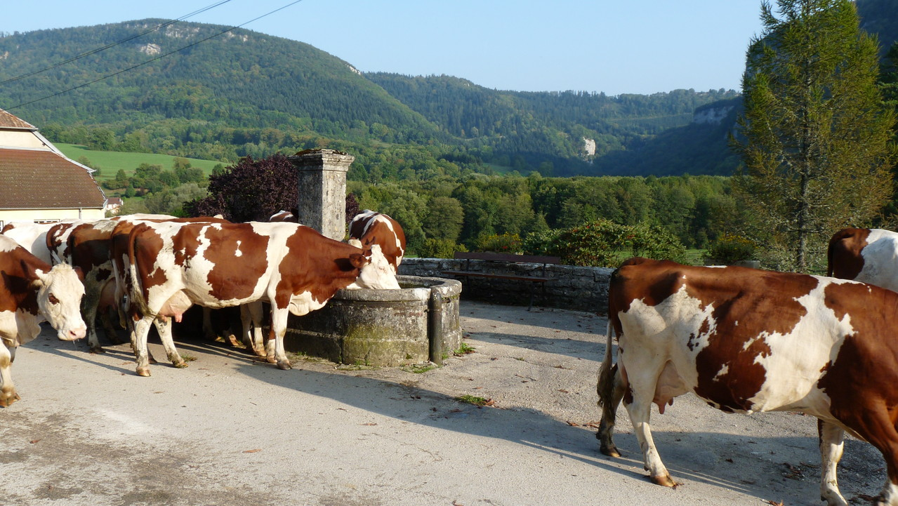 Troupeau de vaches autour d'une fontaine à Nans
