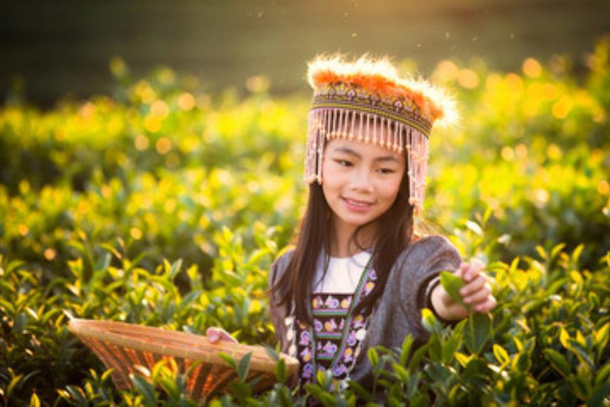 茶摘み風景(モン族)