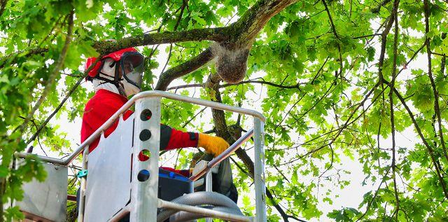 Timotheus Emanuel, Garten- und Landschaftsbaumeister aus Auersmacher, entfernt seit zwei Wochen die Raupen des Eichenprozessionsspinner aus den Eichen in der Gemeinde Kleinblittersdorf.