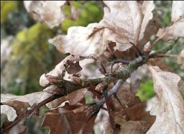 2: Traubeneiche (Quercus petraea)