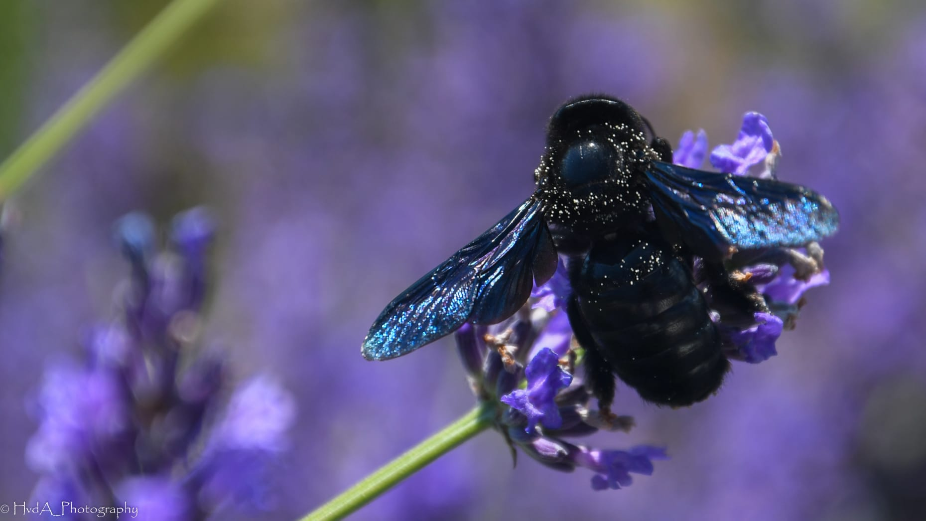 zwarte honingbij op de lavendel